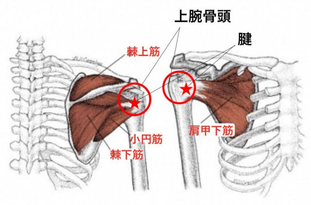 肩まわりの筋肉の図